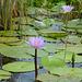 Uganda, Two Lotuses on the Wetlands of Mabamba