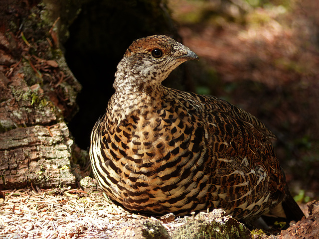 Young Spruce Grouse