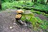 Chicken of the Woods , Gemeiner Schwefelporling