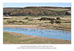 Canada Geese on the Cuckmere - Exceat - 7.9.2016
