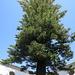 Araucaria heterophylla = pin de Norfolk, Loulé (Portugal)