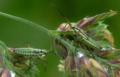 Bugs....Leptopterna dolabrata nymphs