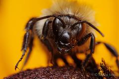 Bumble Bee Portrait