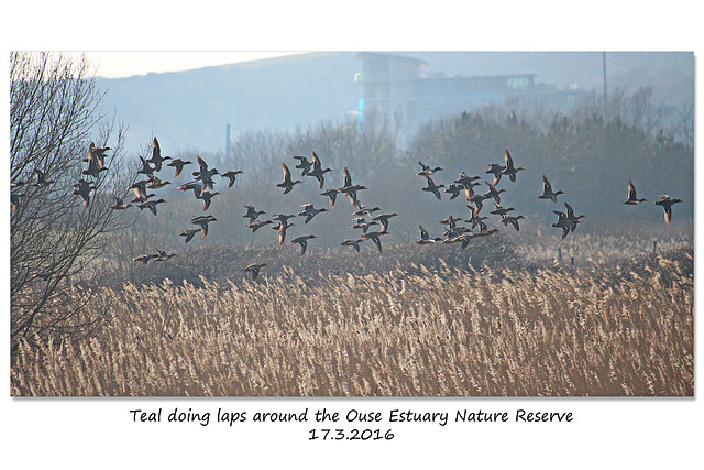 Teal doing laps around Ouse Estuary Nature Reserve Denton - Sussex - 17.3.2016