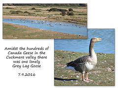 Grey Lag Goose - Cuckmere valley - Exceat - 7.9.2016