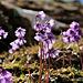 Alpen-Soldanellen oder Alpenglöckchen (Pic-inPic)