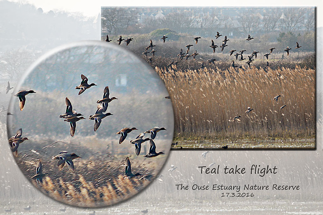 Teal take flight Ouse Estuary Nature Reserve - Denton - Sussex - 17.3.2016