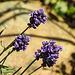 20200622 8831CPw [D~LIP] Lavendel, Bad Salzuflen