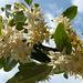 Wunderschöne Blüten der Korallen-Ölweide (Elaeagnus umbellata)   ©UdoSm