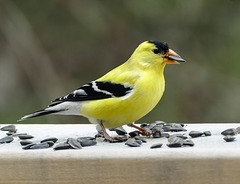 American Goldfinch male, Tadoussac, Quebec