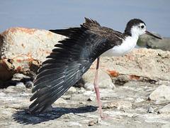 Black-necked Stilt (juvenile?) / Himantopus mexicanus