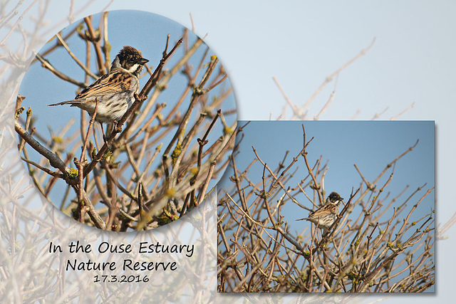 A young male Reed Bunting - Ouse Estuary Nature Reserve - Denton - Sussex - 17.3.2016