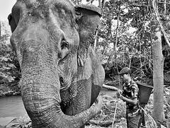 Il faut sauver les éléphants Cambodgiens