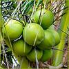 Maceio : et voilà i cocchi di palma sulla spiaggia di Puaripeira