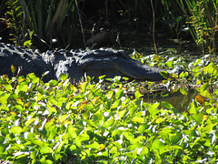 Alligator enjoying sunshine (close view)