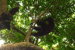 Uganda, Wild Male Chimpanzee Shows Acrobatics High in Tree Branches