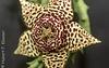 Südafrikanische Aasblume, Ordensstern