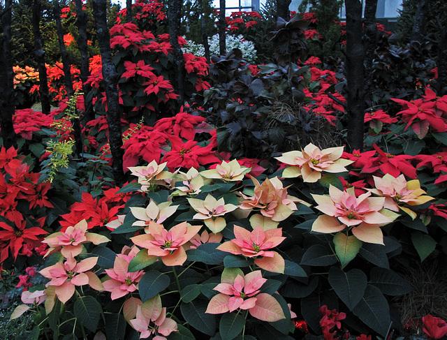 Holiday Poinsettias