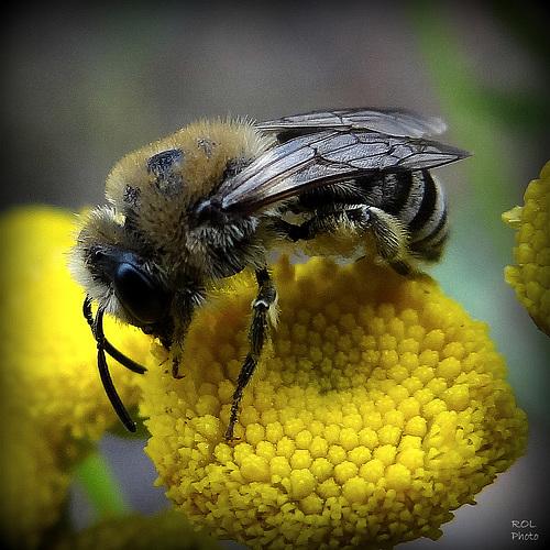 Solitaire...! et active sur les derniers pollens