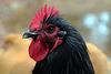 J'ai l'honneur de vous présenter le roi de la poulette , mon coq Orpington