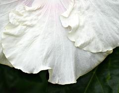 Hibiscus Wave