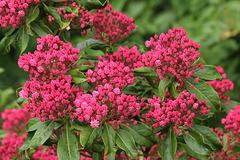 Mountain Laurel pre-bloom