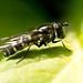 Hoverfly (21)