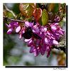 L'Abeille Charpentière (Xylocopa violacea) ...