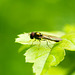 Hoverfly (22)
