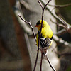Day 2, American Goldfinch male, Rondeau PP
