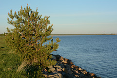 Finland, Lonely Pine on the Shore of the Gulf of Bothnia of the Baltic Sea