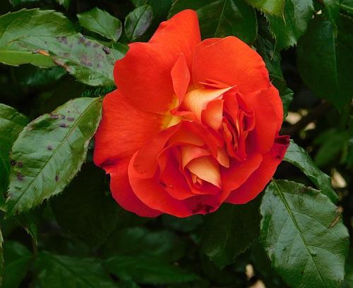 Une belle rose rouge...