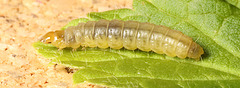 IMG 4652Caterpillarv2