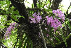 20200622-7990 Aerides maculosa Lindl.