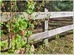 Spring fence... HFF