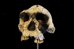 Homo habilis (crâne)
