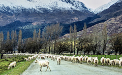 Sheep herding