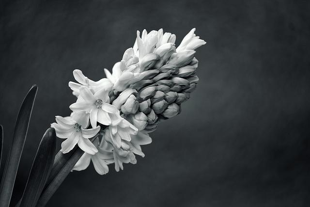 Hyacinth Xpro1 100-400