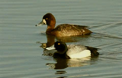 Greater Scaup (Aythya marila) Duck and Drake O08-01
