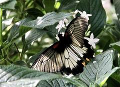 Tropen-Schwalbenschwanz