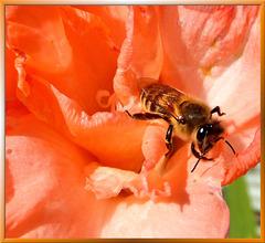 Biene auf Gladiole. ©UdoSm