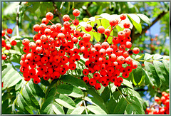 Beeren der Eberesche.  ©UdoSm