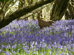 Deer in the bluebells.