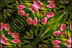 ~ Tulips from Holland ~