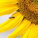20150726 8410VRAw [D~RI] Sonnenblume, Schwebfliege (Melanostoma acalare), Rinteln