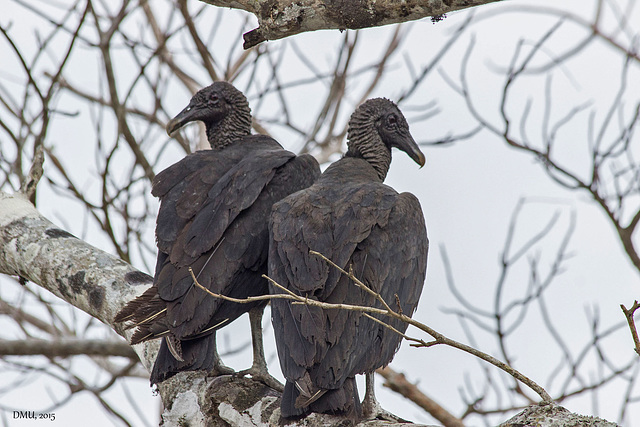 Vultures in Love - or not? ;-)