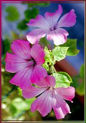 Malven. (Malvaceae) ©UdoSm