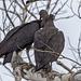 Vultures in Love
