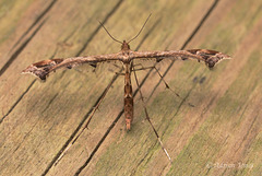 Amblyptilia acanthadactyla (Beautiful Plume Moth)