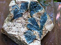 Fossile, Ginkgo digitata, feuilles (Jurassique, Grande-Bretagne, 170 millions d'années)
